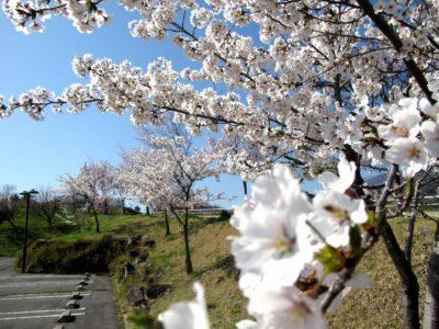飯綱山公園の桜1