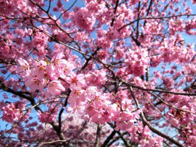 飯綱山公園の桜2