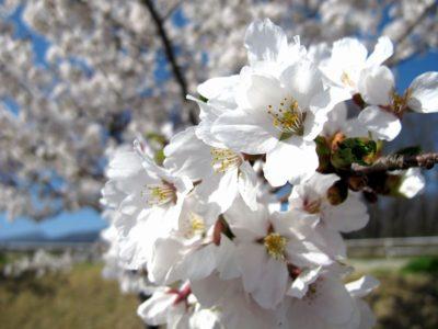 飯綱山公園の桜3