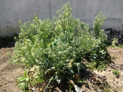 収穫後も育て続けたブロッコリーの全景