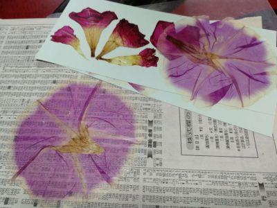 新聞紙であさがおの押し花